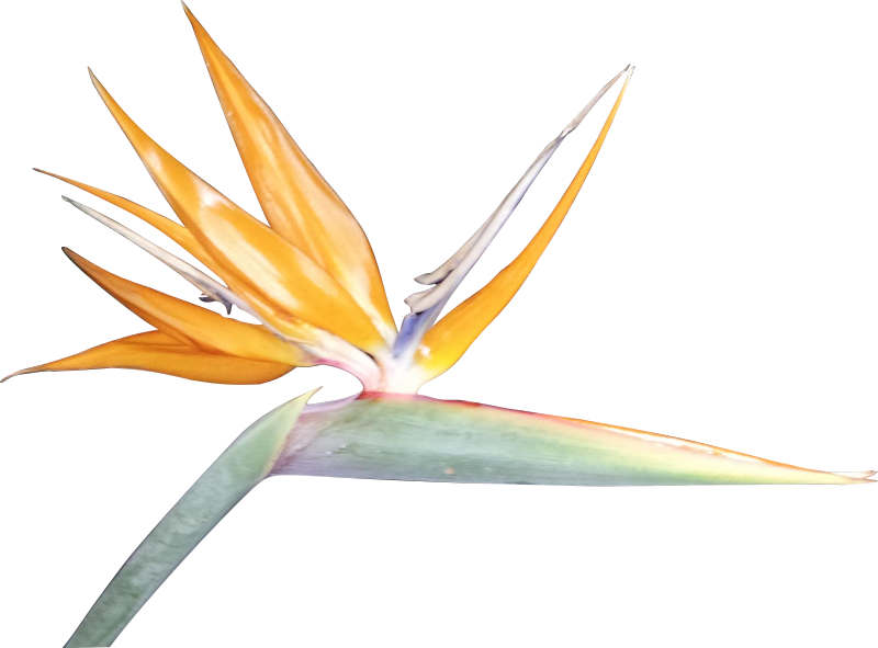 Free Clipart: Bird of Paradise Silhouette.