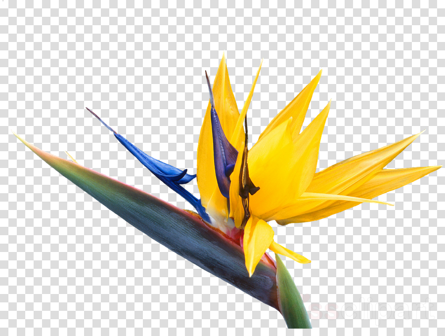 bird of paradise clipart.