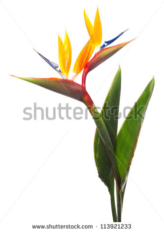 Bird Of Paradise Flower Stock Images, Royalty.