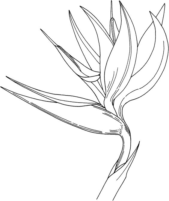 Bird of Paradise Flower Coloring Online.