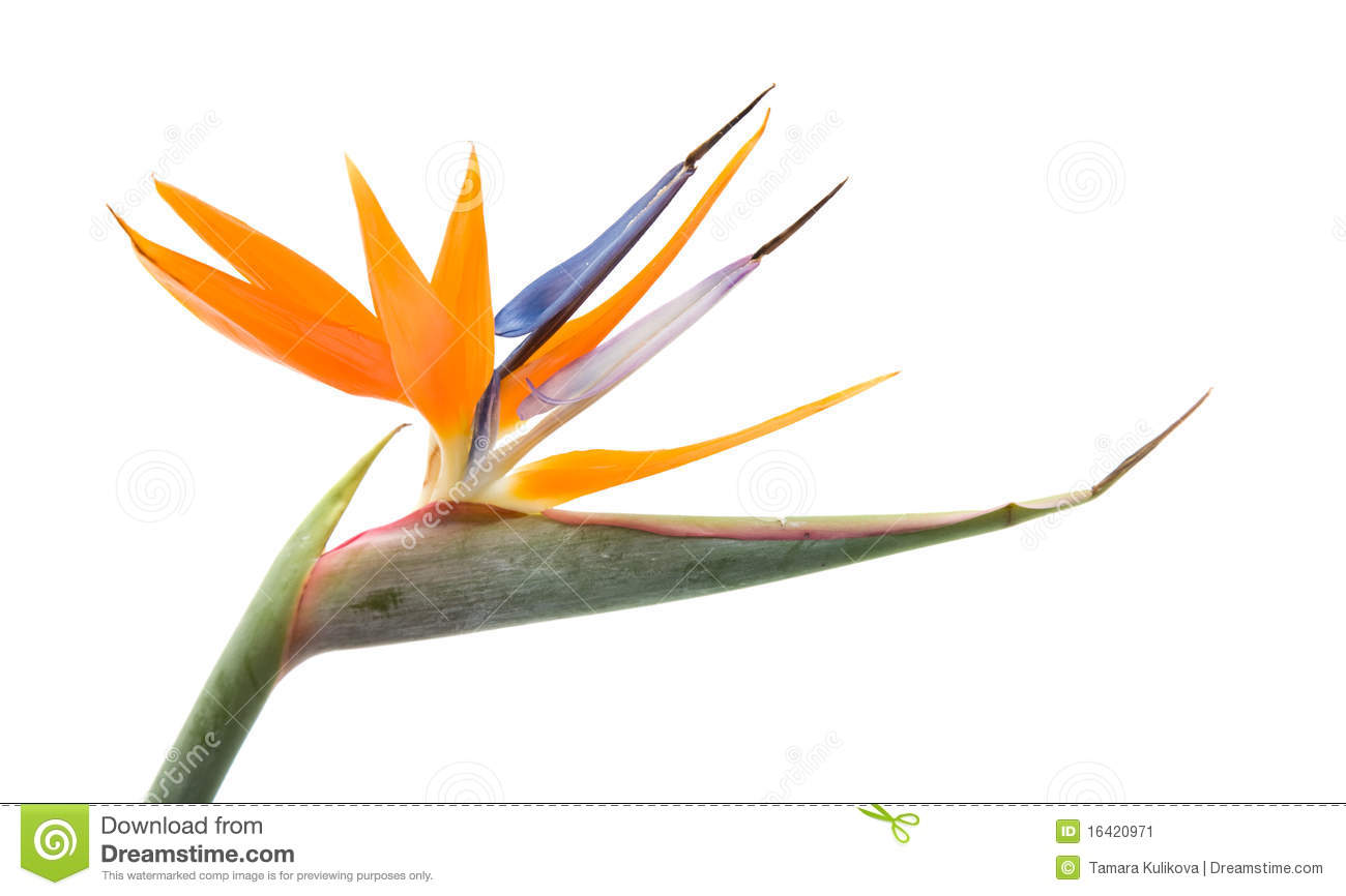 Similiar Bird Of Paradise Tropical Flowers Clip Art Keywords.