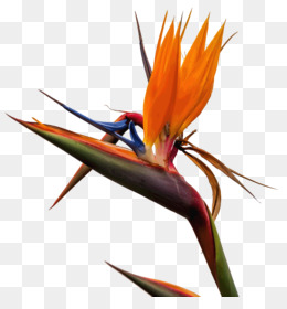 Bird Of Paradise Flower png free download.