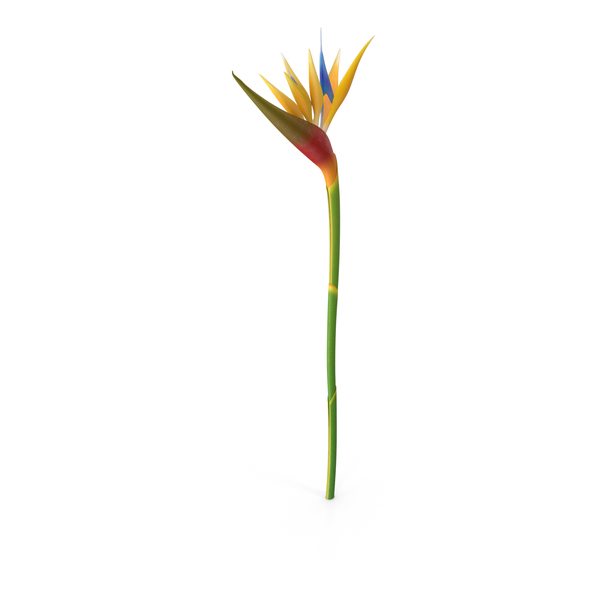 Bird of Paradise Flower PNG Images & PSDs for Download.