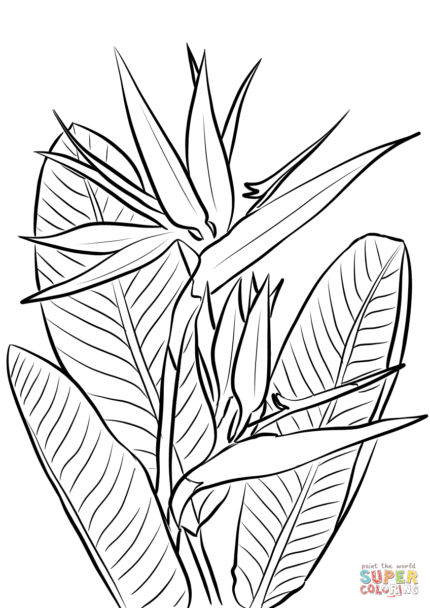 Bird Of Paradise Coloring Pages.