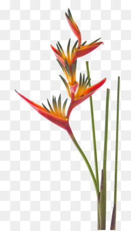 Bird Of Paradise Flower PNG and Bird Of Paradise Flower.