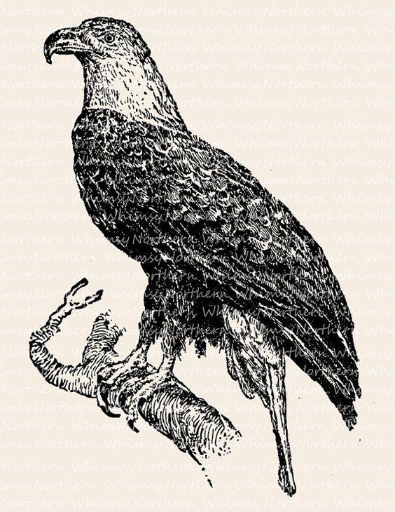 Bald Eagle Image.