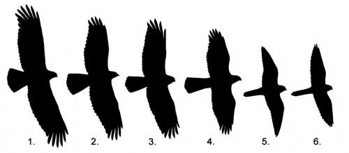 Silhouette Hawk at GetDrawings.com.