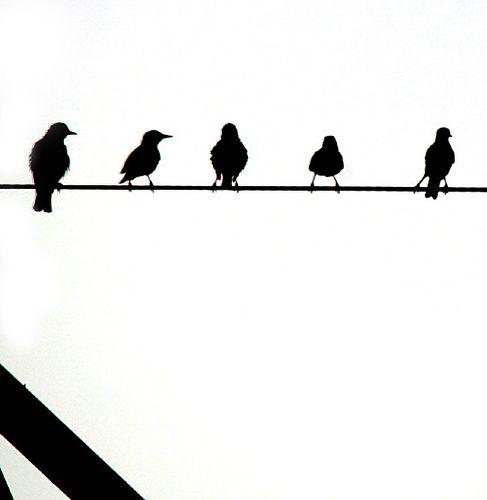 Birds on Wire.