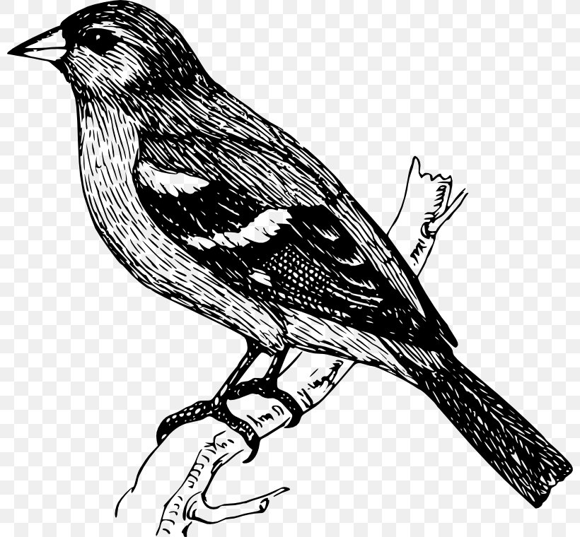 Bird Finches Drawing Clip Art, PNG, 800x760px, Bird, Art.