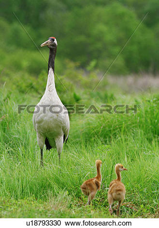 Stock Photography of chick, vertebrate, dam, grass, birds, bird.