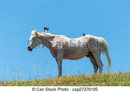 Stock Photography of White horse on hillside field birds on back.