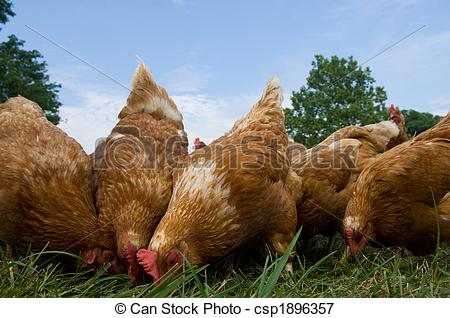 Picture of Pasture raised chickens feeding.