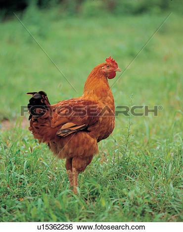 Stock Images of bird, chicken, vertebrate, grass, field, birds.