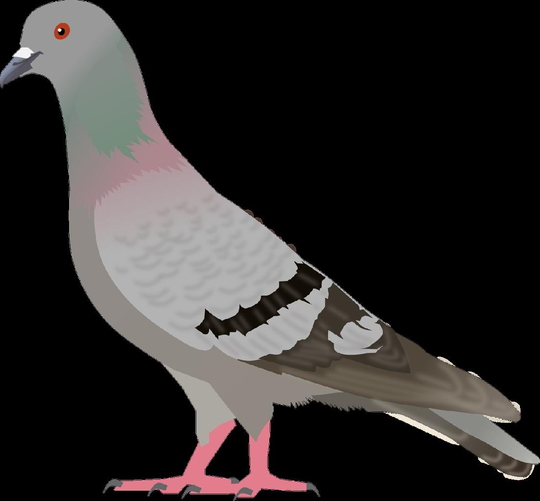 Pigeon Bird Clip Art.