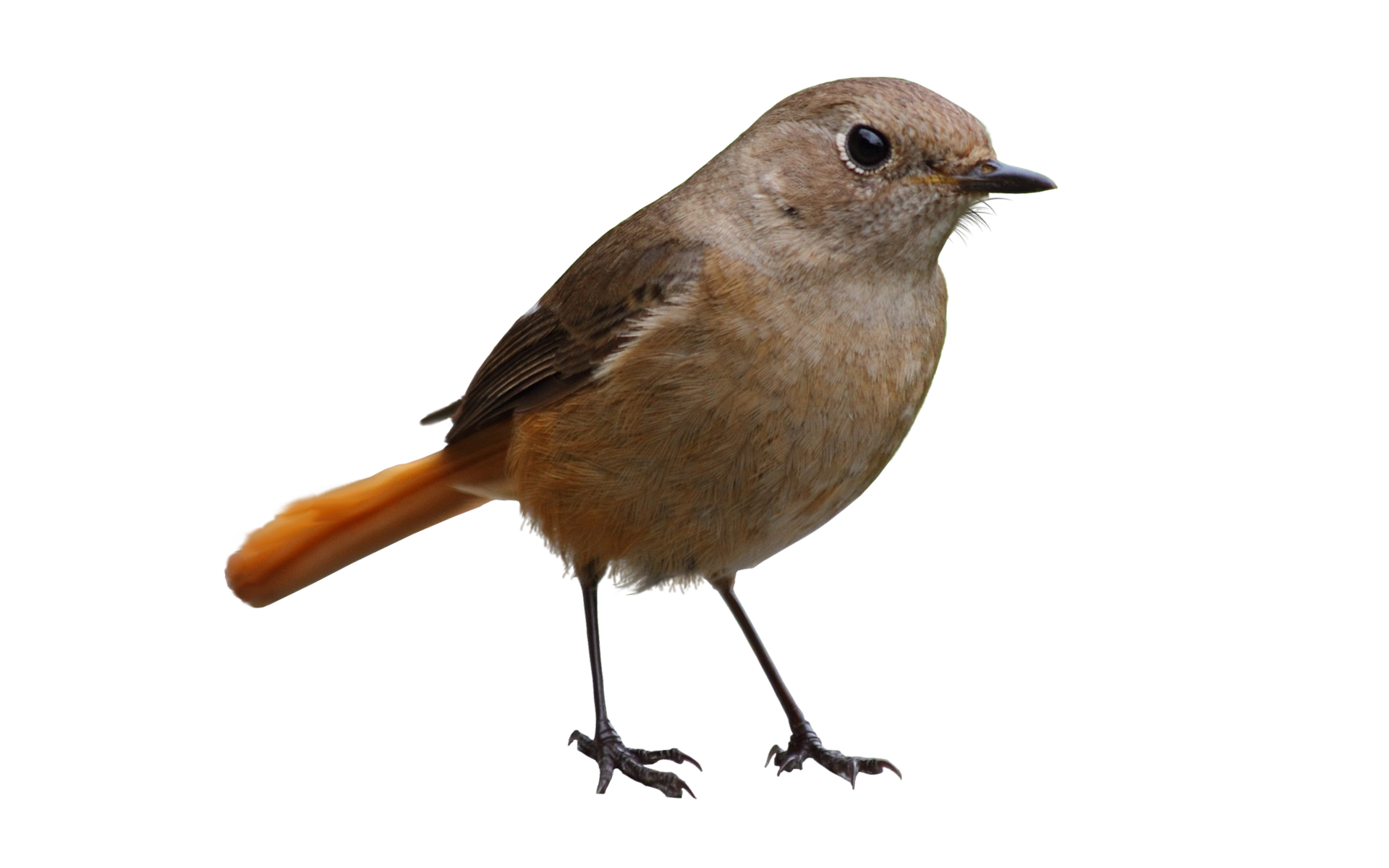 Gray Bird Png #3502.