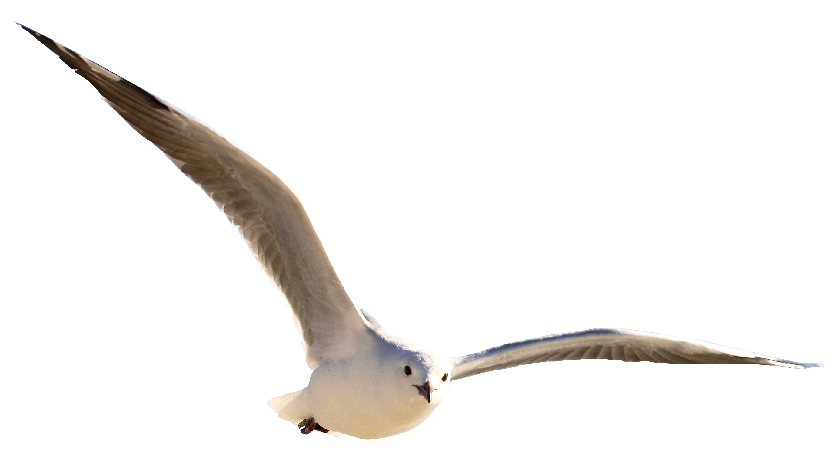 Download Gull Bird PNG Image for Free.