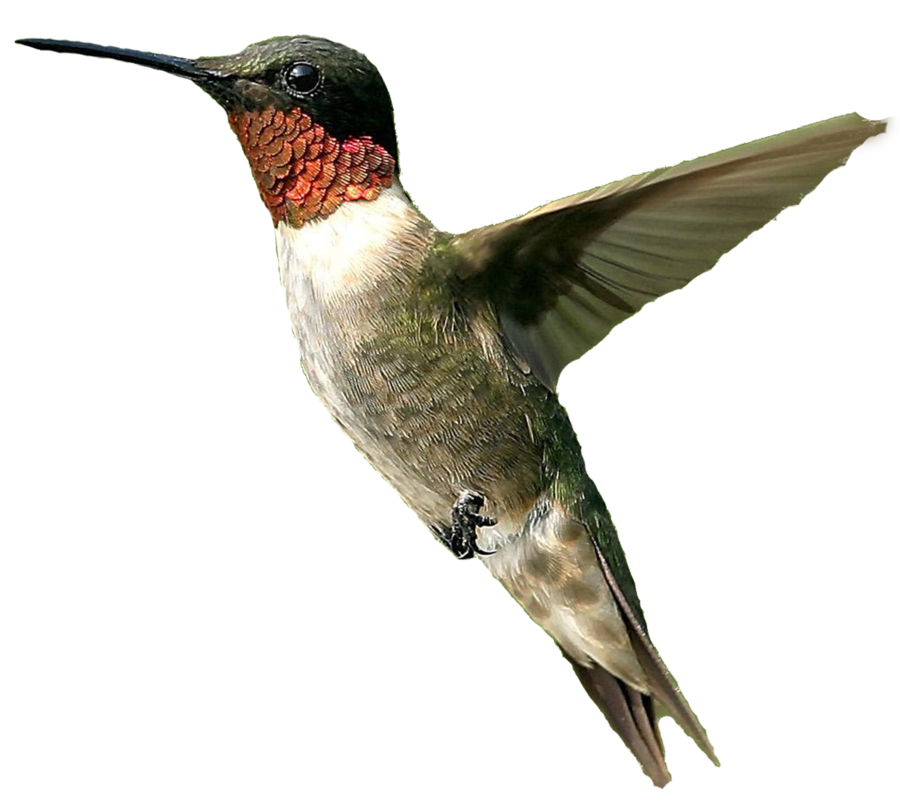 Bird Png Male humming bird png #3503.
