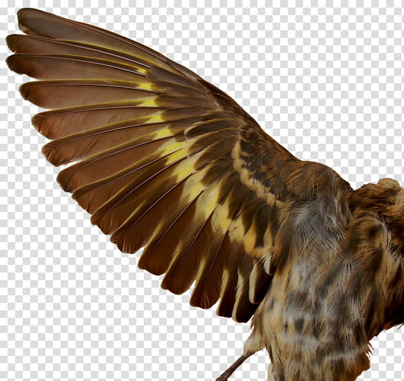Pine Siskin , bird spreading its wings transparent.