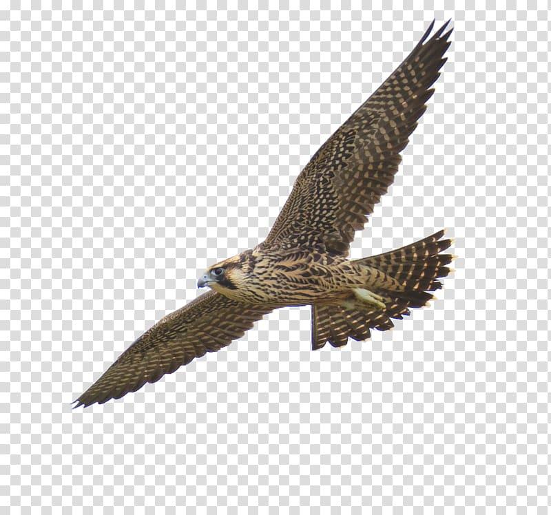 Brown eagle spreading wings, Peregrine falcon, Falcon.