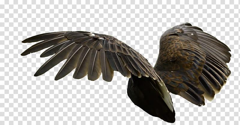 Raptor Center Cutout, black bird spreading wings transparent.