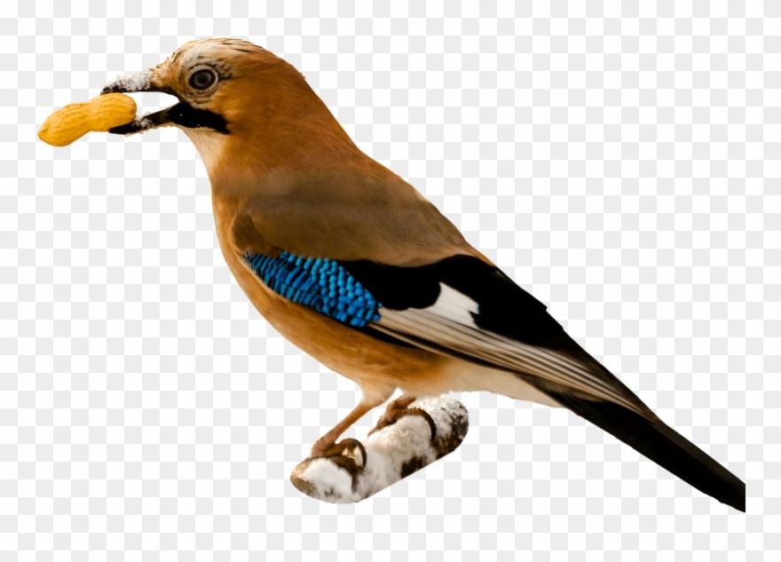 Bird Eating Peanut.
