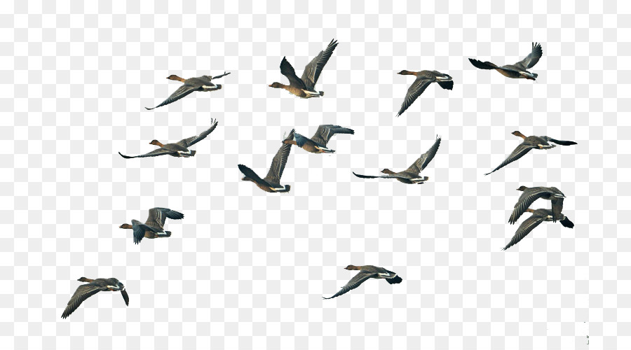 Flying Bird Background png download.