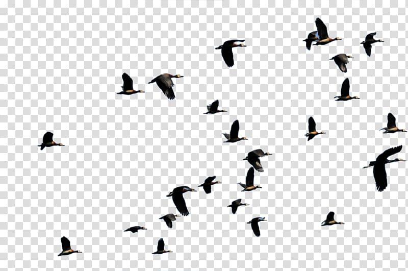 Group of black birds, Bird migration Flight Duck Animal migration.