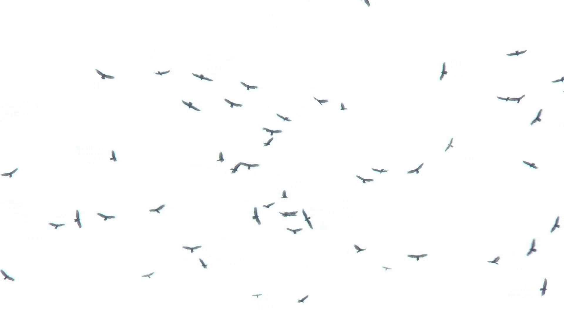 Many vultures. Group of birds flying against a white background. Stock  Video Footage.