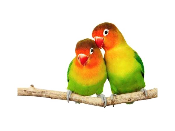 Love Birds PNG Photo Image.