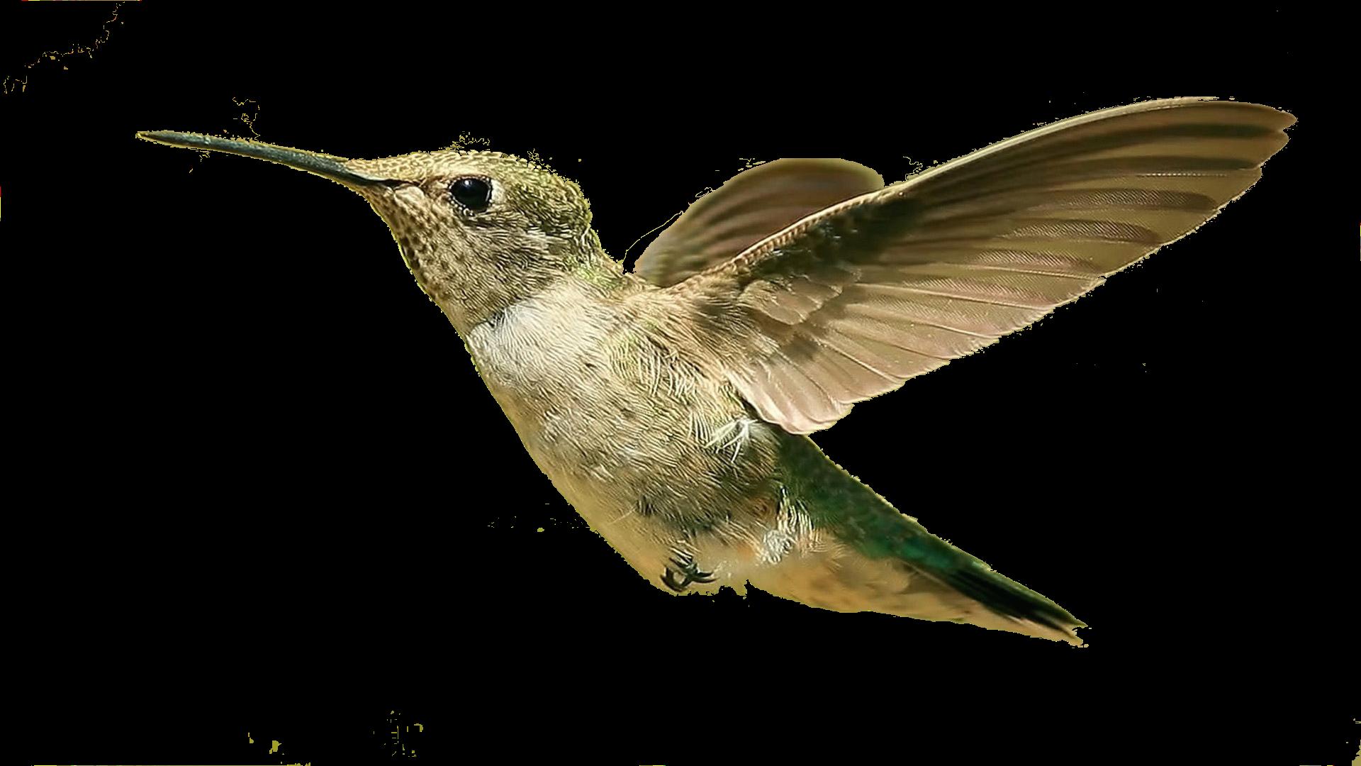 Bird HD PNG Transparent Bird HD.PNG Images..