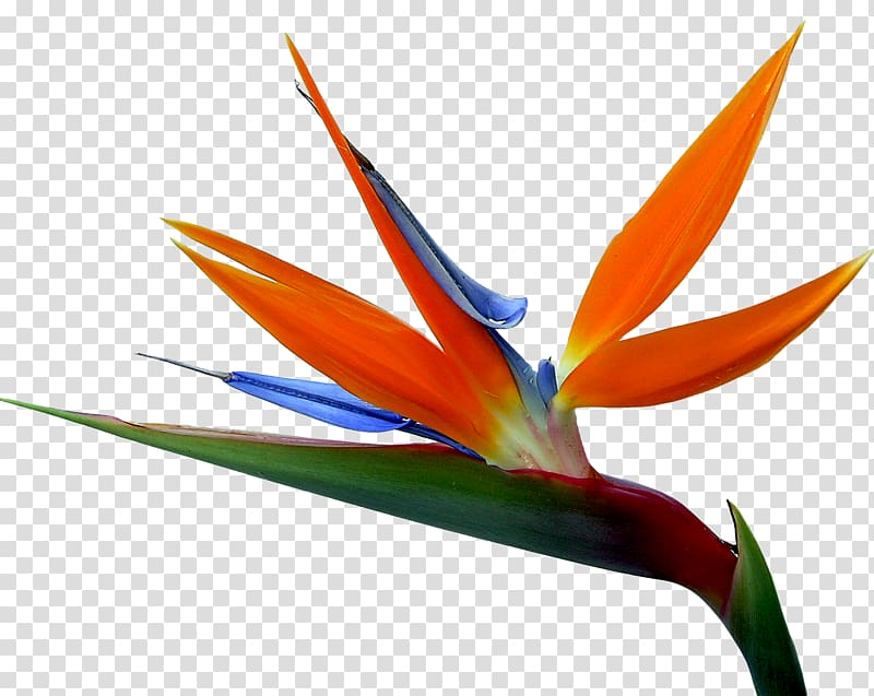 Orange, green, and blue birds of paradise flower, Strelitzia.