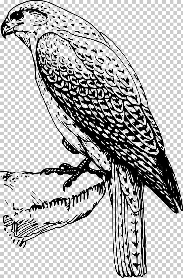 Bird of prey , falcon PNG clipart.