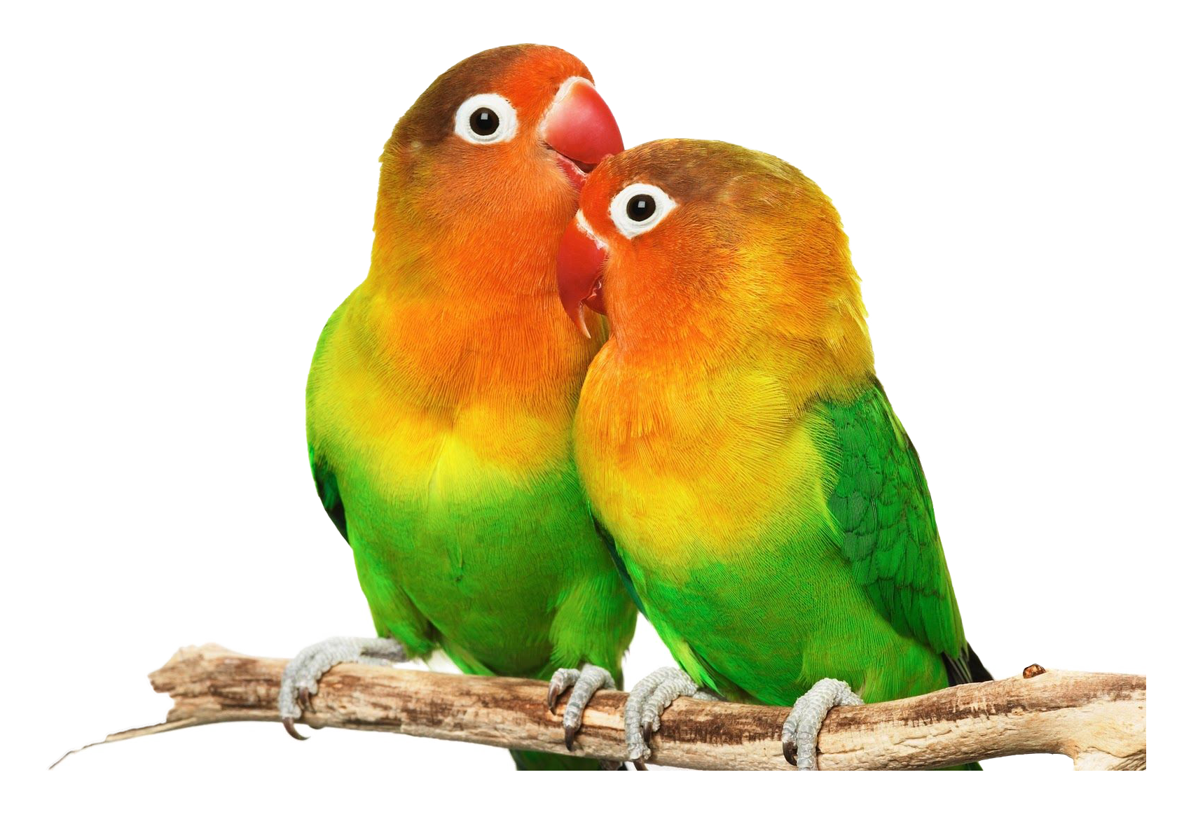 Love Birds PNG Images HD.