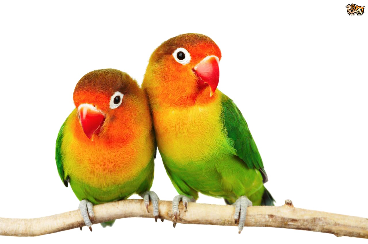 Love Birds PNG Pic.
