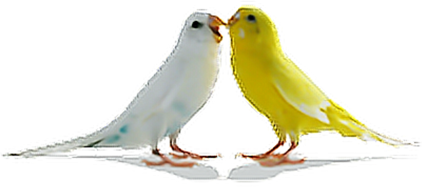 Free Png Download Love Birds Png Images Background.