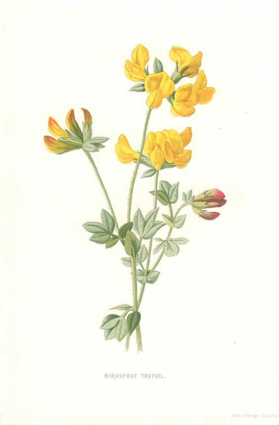 Birdsfoot Trefoil, 5 Wild Flower Botanical Pages, Instant Download.