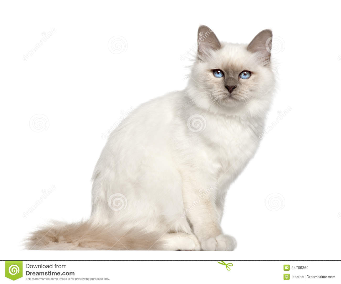 Birman cat clipart.