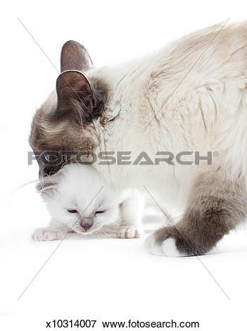Picture of Birman cat x10314007.