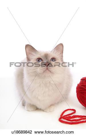Stock Photo of domestic cat, Birman, feline, domestic animal.