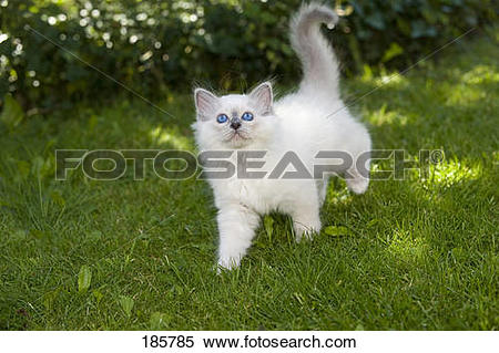 Stock Image of Sacred Birman. Kitten (blue.