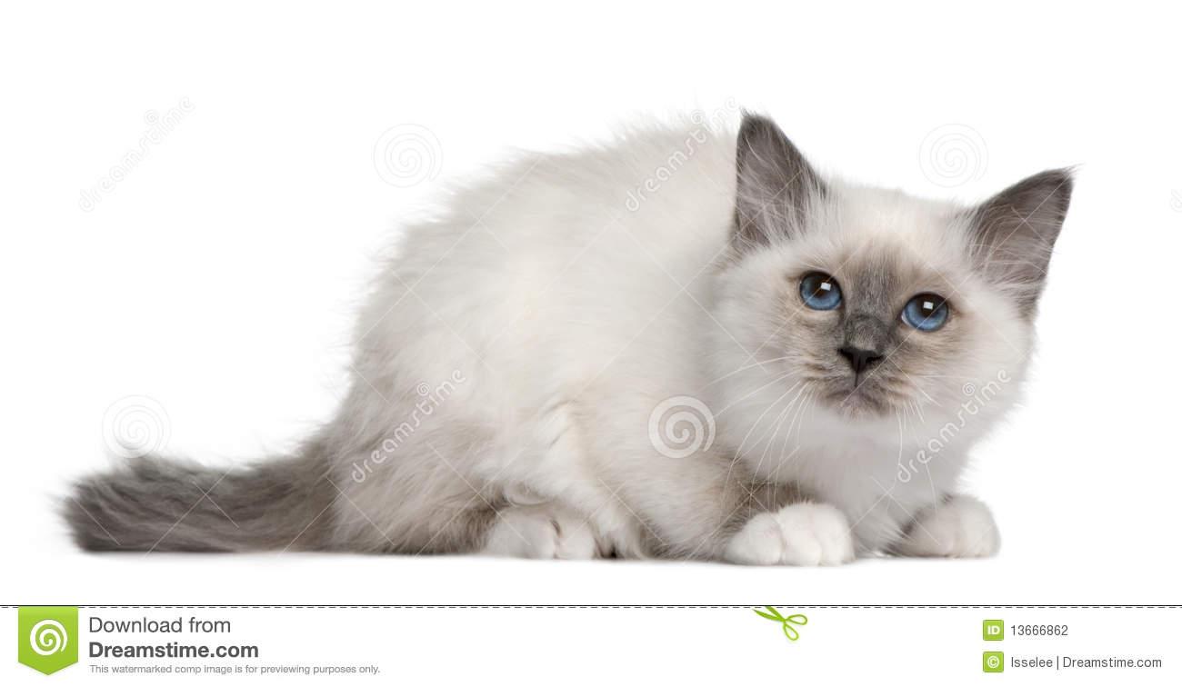 Birman Kitten Stock Photos, Images, & Pictures.