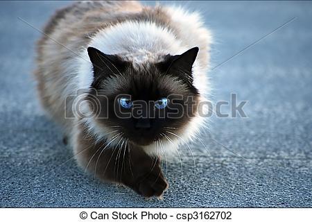 Stock Photo of Birman cat.