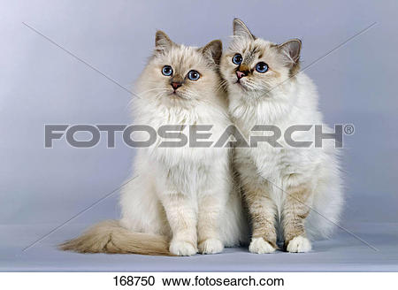 Stock Photography of Sacred Birman, pair of cats sitting next to.