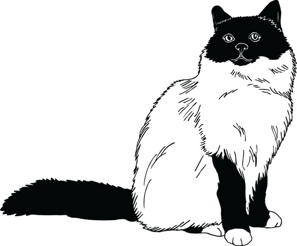 Birman Cat Breed Pet Lovers Art For Personalized Gifts.