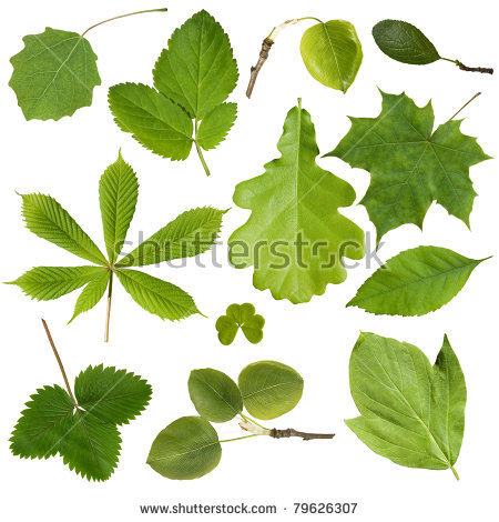 Tree Leaves Isolated On White Background Stock Foto 76903693.