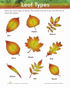 How Can Leaves Identify A Tree.
