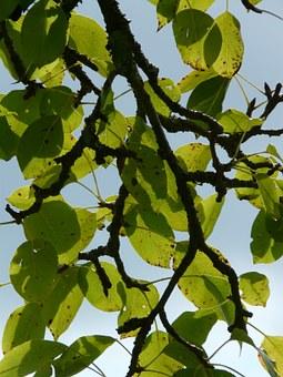 Pear, Leaf.