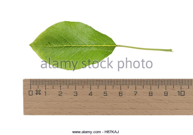 Pear Tree Cut Out Stock Images & Pictures.
