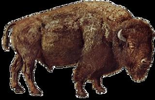 Bison PNG images.