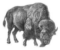 Free Bisons Clipart.